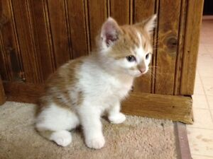 3 Adorable Kittens Looking for New Homes Strathcona County Edmonton Area image 3