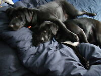 Looking for sitter for our 2 labs for 2 separate weeks in summer