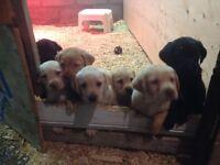 Labrador Retriever Puppies - Females