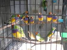 Gouldian Finches West Wollongong Wollongong Area Preview