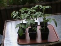 6 x 8-9 inch Cherry Tomato Plants 25p each