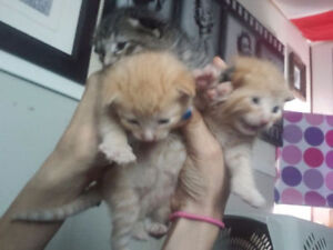 have 3 Six toes kittens on front paws for sale 1 with 4 toes