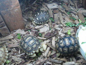 C/B Leopard Tortoise Hatchlings