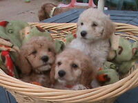 Cockapoo Puppies For Sale Open Christmas Day!
