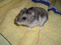 dwarf hamsters x5