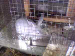Rabbits for sale. Pics will follow soon.