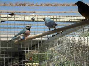 Gouldian finches Split Blue & Blue (Pure) & normal yellow W/B Seaford Frankston Area Preview
