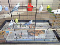 3 - 6 month old budgies for sale.