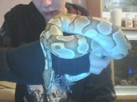 Male ball python and baby corn snake for sale