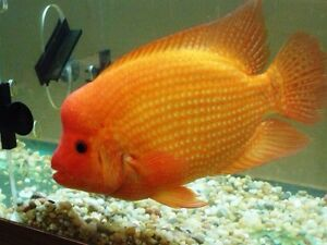 Looking for Large Midas or Red Devil Cichlid fish