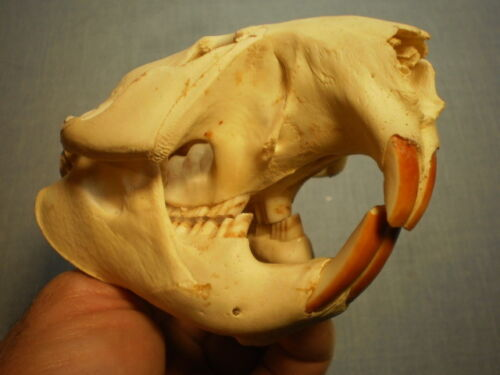 Taxidermy skull real Beaver clean HUGE specimen 5 inches