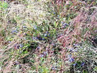 FEMALE PARTNER TO DEVELOP 100 ACRE WILD BLUEBERRY FARM