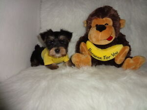 Toy Morkie Male