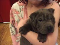 blue shar pei puppies