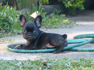 French Bulldog Pup Caboolture Caboolture Area Preview