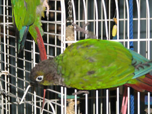 BABY Conure for Adoption