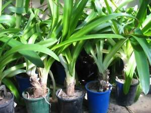 Buy 10 get 1 free of potted large agapanthus plants