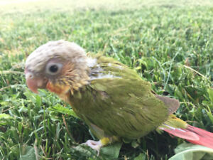 SUPER CUTE HANDFED Baby Conures (two left)