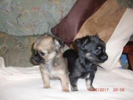 Chihuahua Pups, Longhair girls