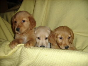Golden Retriever Puppies Oshawa / Durham Region Toronto (GTA) image 2