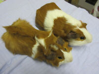 A beautiful pair of ginger and white brothers ready to go.