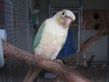BLUE SERIES PROVEN BREEDING PAIR GREENCHEEK CONURES Upper Coomera Gold Coast North Preview