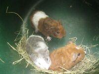 Rex Guinea pigs