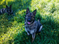CKC Purebred Registered German Shepherds.