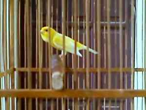 pure russian yellow canary..... excellent singer...... a very go