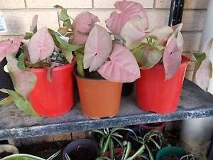 VARIOUS PLANTS FOR SALE Deception Bay Caboolture Area Preview