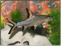 Silver Sharks For Sale