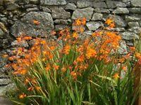60x Crocosmia Orange bulbs corms flowers plants