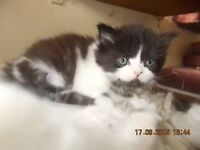 adorable 3/4 persian kittens