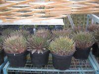 Aloe Family Cactus Best deal ever