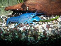 Blue lobster/crayfish