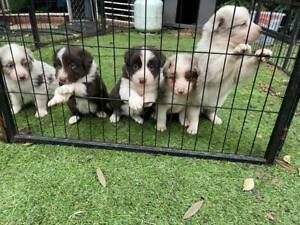 Gorgeous Tricoloured Lilac Merle and Choc/white Border Collie Pups