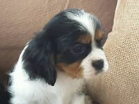 Female Cavalier King Charles Spaniel Puppy