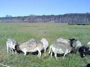BLACK FACED DORPER EWE SHEEP Rosevale Ipswich South Preview