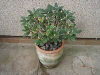 Rhododendron Plant in Pot