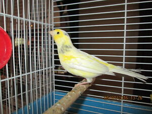 Femelle Canari Jaune Yellow Female Canary Serin