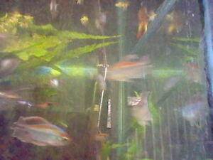 SOLD PPU  8 large CONGO TETRAS