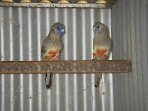 Canary, Parrots, Poultry and Zebra Finches from $4.00 Valley View Salisbury Area Preview