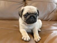 Baby Pugs! 100% pedigree! Moving house so need them gone ASAP as why selling cheap