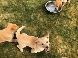 Labrador X puppies (2 left)