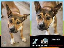 1-5 year old female STAFFY X KELPIE - URGENT home needed! Blacktown Blacktown Area Preview