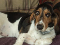 Basset Hound Lola Is Up For Adoption