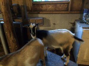 Pet Kids!  Dwarf Nigerian Goats Peterborough Peterborough Area image 4