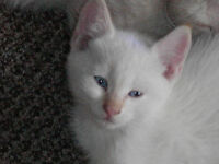 Lynx Point and Flame Point Siamese