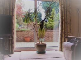 Dracaena plant and pot