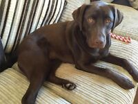 Chocolate lab puppy free to a good loving home